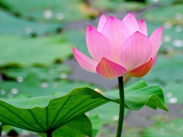 Ý nghĩa giấc mơ thấy hoa sen là điềm gì?