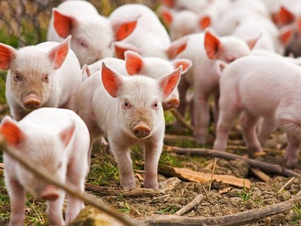 Mơ thấy con lợn điềm báo lành hay dữ?
