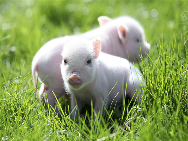 Mơ thấy con lợn đánh con gì?